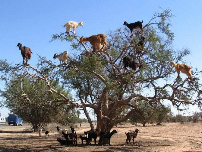 cabras-argan1 (1)